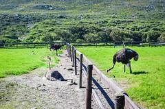 20140831-DSC_6924 (jbdodane) Tags: africa bicycle capetownpeninsula cycletouring cycling cyclotourisme day666 ostrich southafrica velo westerncape freewheelycom jbcyclingafrica