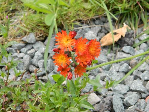 Clungunford: flower (Shropshire)