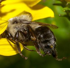 Not a Sleeping Bee (ScreaminScott) Tags: macro insect bee bumblebee lesterdine105mmmacrolens
