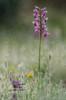 Long-spurred orchid (Giovanni Caddeo) Tags: wildlife naturalmente defendersofwildlife earthhour nginationalgeographicbyitalianpeople totalphotoshop floraefaunadellasardegna nikond7000 anacamptislongicornu nikonclubit longspurredorchid meyergörlitztrioplan100f28