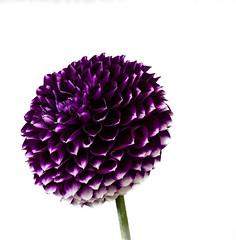 20140831-DSC_3392 (wacamerabuff) Tags: flower washington farm monroe evergreenstatefair