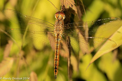 In the waning summer sun (rdroniuk) Tags: dragonflies insects insectes odonata libellules wanderingglider pantalaflavescens wanderinggliderdragonfly dragonfliesofontario pantaleflavescente wanderinggliderfemale
