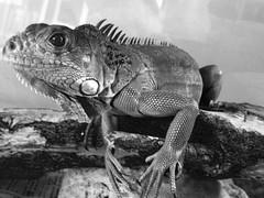 Carbn (rojnarod) Tags: gris negro iguana lagarto reptil garrobo carbn