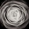camellia (sue.h) Tags: blackandwhite flower camellia toned artlibre