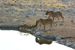 Lionesses & Three Cubs (Truus & Zoo) Tags: nationalpark lion young cubs np namibia etosha jong vulnerable leeuw namibi leeu pantheraleoleo
