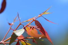 013 new growth, Wentworth Falls, NSW (johnjennings995) Tags: red leaves australia bluemountains foliage eucalyptus wentworthfalls