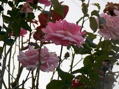 #roseRosa #rosa #flowers #belle #fiorellini #fiori #rosa #green #wild (simonalaventura) Tags: flowers wild green rosa belle fiori fiorellini roserosa