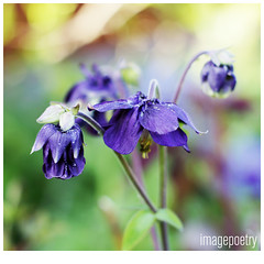 067 (imagepoetry) Tags: plant flower nature garden spring purple blossom bokeh naturelover a65 imagepoetry sonyalpha gardenlover bokehlover ipoetry natureonly