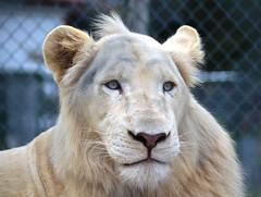 DSC_0706 (Sketchpoet) Tags: zoo lion bigcats whitelion tigerworld