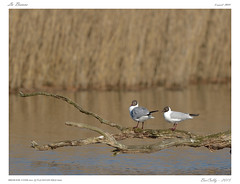 La Brenne (BerColly) Tags: france bird google pond berry flickr centre flight vol oiseau mouette etang blackheadedgull mouetterieuse brenne chroicocephalusridibundus bercolly