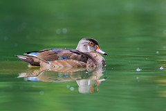 Wood Duck Drake (Juvi) (ayres_leigh) Tags: duck wood toronto highpark nature water reflection canon
