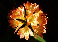 Game Lighting (petrk747) Tags: townslaný czechrepublic flora flower nature inside light lighting cone room evening clivia saariysqualitypictures