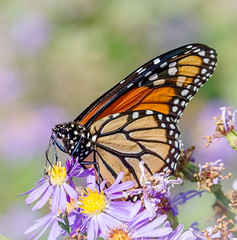 Super Generation Monarch (tresed47) Tags: 2016 201610oct 20161018bombayhookbirds bombayhook butterflies canon7d content delaware folder insects monarch peterscamera petersphotos places takenby us