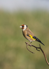 Goldfinch (Margaret S.S) Tags: bird european goldfinch