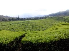 Kebun teh (riyo0) Tags: kebunteh greentea