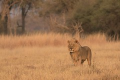 Lion (moments in nature by Antje Schultner) Tags: lion male khwai river botswana afrika