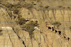 Mule deer climbing butte Theodore Roosevelt National Park (photomeh) Tags: horizoncalendar2018 trnp 2016 muledeer butte theodorerooseveltnationalpark northdakota