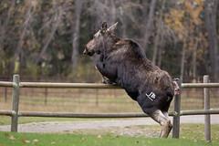 Grand Prix (JB Bar) Tags: moose dogpoundnorth grandprix