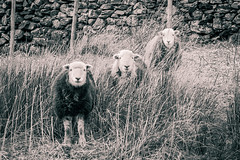 Lakeland Locals (Dave Fieldhouse Photography) Tags: herdwicksheep livestock animals farm monochrome blackandwhite splittone wildlife lakedistrict cumbria buttermere nationalpark spring springtime canon5dmarkiii canon5dmark3 comical amusing drystonewall sheep