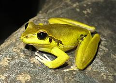 Stony Creek Frog (Litoria wilcoxi) (Heleioporus) Tags: stony creek frog litoria wilcoxi near nowendoc new south wales male yellow