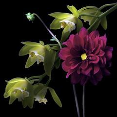 Dahlia & Cymbidiums (Pixel Fusion) Tags: dahlia cymbidium orchid flower flora nature macro nikon d600