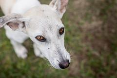Varanasi, India (Aicbon) Tags: verde varanasi benares dog abandonado perro perrito cachorro puppy white animal pet domestic domestico mascota vagabundo mirada eyes 50mm 14 india hindu asia
