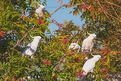 Cockatree in autumn (SC) Tags: bird parrot cockatoo australia tree berries sulfurcrestedcockatoo