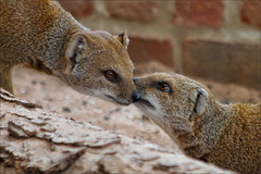 Whispers (meniscuslens) Tags: yellow mongoose marwell hampshire winchester
