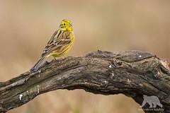 Yellow Bunting (fascinationwildlife) Tags: animal bird songbird goldammer yellow bunting morning wild wildlife winter nature natur central poland polen