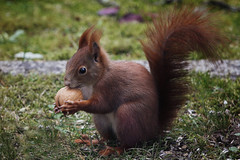 noch ein Nsschen (bauingenieuse) Tags: nuss nut essen dinner schwanz tail nager nagen abendessen eichhrnchen squirrel cute braun rot red brown garten garden winter herbst 2016 bauingenieuse ss outdoor besuch am abend germany visit evening walnuss walnut