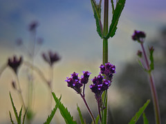 Verbena Brasiliensis Vell (elly.sugab) Tags: flora flower plant grass highland verbena bokeh depthoffield ungu bunga bromo semeru savana