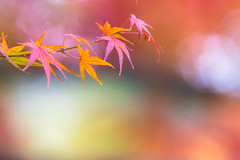 let's dance in a circle (hitohira_) Tags: flower flowers nature bokeh leaves maple