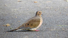 Mourning Dove (Baractus) Tags: mourning dove john oates city central park manhatten new york usa