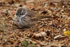 Sagebrush Sparrow-8512G (Paul*Nelson) Tags: michigan michigansupperpeninsula sagebrushsparrow sparrow up upperpeninsula whitefishpoint bird rarebird