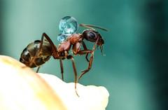 ant n drop (vasekk photo) Tags: ant drop water micro stack detail extreme vasekk httpswwwfacebookcomvasekkphoto709923872419324