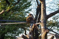 SDIM6058lr (yoshitoshi ABe) Tags: 20161106 井の頭自然文化園 sigma sdquattro 吉祥寺 sigmamacro70mmf28exdg サル