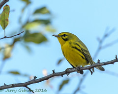 Backyard Prairie Warbler 11-03-2016  (51) (Jerry's Wild Life) Tags: dendroica dendroicadiscolor praw parulidae prairie songbird songbirds warbler woodwarbler backyard backyardprairiewarbler
