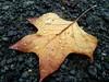 Feuille d'automne un jour de pluie (Catherine Reboul) Tags: gouttelettes feuilledechêne catherinereboul