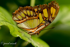BUTTERFLY (pearl.winch) Tags: 17thoctober2016 tropicalwings 2485