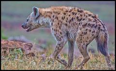 Spotted hyena, at dusk, on the slope going up to Mara West Camp. (stevebfotos) Tags: masimara maasaimara kenya hyena