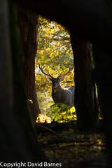 Sika Deer (David Barnes Wildlife Photography) Tags: 1d4 british cervusnippon fauna mammals nature naturephotography sikadeer uk unitedkingdom wildlife