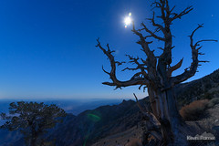 Ancient Sentinel (kevin-palmer) Tags: deathvalley nationalpark deathvalleynationalpark california mojavedesert november fall autumn evening nikond750 clear night sky stars starry moon moonlight moonlit blue panamintrange mountains telescopepeak lensflare twilight bristleconepine trees old ancient sentinel wood branches tokina1628mmf28