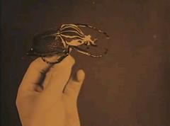 EROTIKON (Mauritz Stiller, 1920) -3- (-Rath-) Tags: animalia arthropoda insecta coleoptera scarabaeidae cetoniinae goliathusgoliatus escarabajogoliat