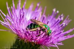 Metallic Green Bee (Augochloropsis metallica) (danielusescanon) Tags: capemay metallicgreenbee augochloropsismetallica wild thistle capemaypointstatepark newjersey bee