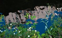Po-la ribeira (Franco D´Albao) Tags: francodalbao dalbao nikond60 río river ribera riverside vegetación vegetation reflejo reflection margaritas daisies orilla flores flowers bank