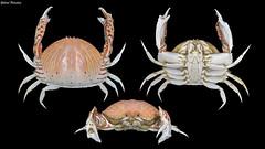 Calappa lophos (Herbst, 1782) (GaboUruguay) Tags: crabe pinza crostacei decapodi chele arthropod   cranc krabo  kepiting  gaforre  cua krabba krabi  krabbi yenck portn krabbe ketam tarisznyark taskurapu  gran krab   krabas  alimasag rak  cancer pajek krabis favme animalia arthropoda crustacea malacostraca decapoda brachyura calappidae calappa crab cangrejo crustaceo marino marine animal specimen philippines bulky carapace chelae claw shamefacedcrab boxcrab domeshaped lophos canon sx50 powershot commonboxcrab