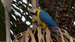 arara-canindé (Ara ararauna) (my18photos) Tags: araracanindéaraararauna animals animais animal ambiente amazing aves ave avifauna animalplanet árvore wildlife wild wildlifephotography world wildife wildlifephoto wikiaves wildnature fauna flora free foto flickr fofo comida alimento buriti bird brasil birds birdwatching birdwatch birding brazil birdphotography bbc nature natureza naturephotography new naturephotos nationalgeographic national livre life liberdade green tocantins t3i selvagem sigma sigma150500 cool canon cute canont3i photo photography preservação pássaro photos preserve meioambiente mato izaletetavares
