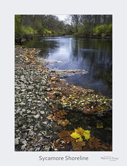 Sycamore Shoreline (baldwinm16) Tags: il illinois midwest river dupageriver fall autumn shoreline sycamore november nature natureofthingsphotography