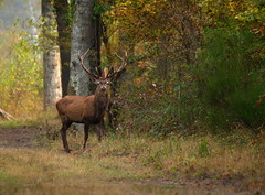 Dix cors (Phil du Valois) Tags: cerf dix 10 cors chambord faune sauvage libre wild wildlife free red deer stag