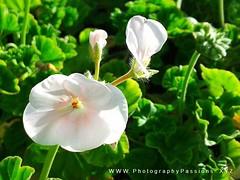 145. FLORA: Pastel Geraniums (www.YouTube.com/PhotographyPassions) Tags: flower flowers geraniums plant bush outdoor shrub garden blossoms blooms bud blossom pastel white green mlpphflora macro